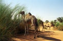 Kamelen, Mauretanië Stock Foto's