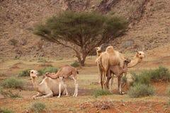 Kamelen met Kalveren Stock Afbeeldingen