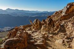 Kamelen op bergsleep op de berg van Mozes, Sinai Egypte Stock Foto's