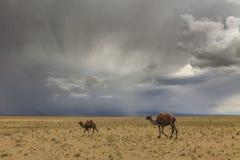 Kamelen op de achtergrond van woestijn en bergen Stock Fotografie