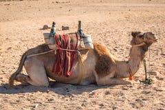 Kamelen op de Afrikaanse woestijn Royalty-vrije Stock Foto