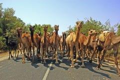 Kamelen op de manier. Stock Foto's