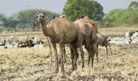 Kamelen op het gebied Stock Fotografie