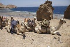 Kamelen op het strand stock foto