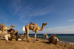 Kamelen op het strand bij het Blauwe Gat, Dahab 'worden geparkeerd die' Royalty-vrije Stock Fotografie