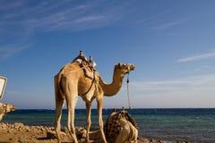 Kamelen op het strand bij het Blauwe Gat, Dahab 'worden geparkeerd die' Royalty-vrije Stock Afbeeldingen
