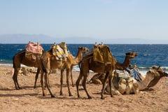 Kamelen op het strand dichtbij het Blauwe Gat, Dahab worden geparkeerd die Stock Fotografie