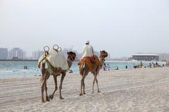 Kamelen op het strand in Doubai Royalty-vrije Stock Foto's