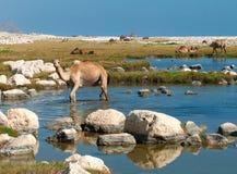 Kamelen op het strand, Oman Stock Foto's
