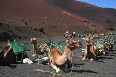 Kamelen op Lanzarote Royalty-vrije Stock Foto's