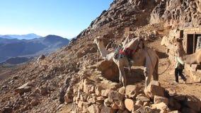 Kamelen op Onderstel Sinai (Moses Mountain) op Sinai Schiereiland, Egypte stock videobeelden