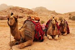 Kamelen op toerist en hun rit die rond Petra in Jordanië wachten, Stock Afbeeldingen