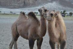 Kamelen op zand Stock Foto