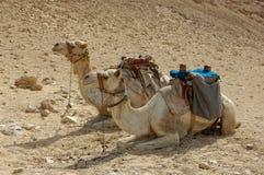 Kamelen op zand Stock Afbeelding