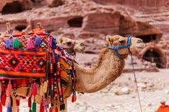 Kamelen in Petra, Jordanië Stock Foto's