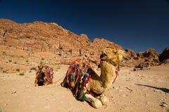 Kamelen in Petra, Jordanië Royalty-vrije Stock Foto's