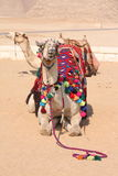 Kamelen, Schepen van de Woestijn - Giza, Egypte Stock Foto