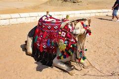 Kamelen, Schepen van de Woestijn - Giza, Egypte Stock Afbeeldingen