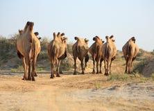 Kamelen in semi-desert bijna baia DE zaburunie bij Kaspische overzees Royalty-vrije Stock Foto