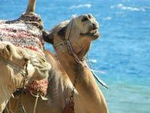 Kamelen in Sinai Stock Afbeelding