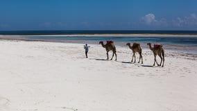 Kamelen, strand, oceaan, wit zand, middag, vakantie Royalty-vrije Stock Foto