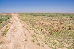 Kamelen in Turkmenistan stock afbeelding