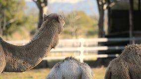 Kamelen uit onder aard stock footage