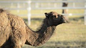 Kamelen uit onder aard stock video