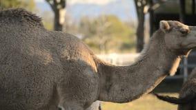 Kamelen uit onder aard stock videobeelden