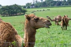 Kamelen in Weiland Stock Foto's