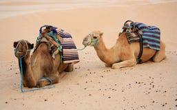 Kamelen in woestijn royalty-vrije stock afbeeldingen