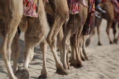 Kamelen in woestijn. Royalty-vrije Stock Foto's