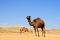 Kamelen in woestijn stock fotografie
