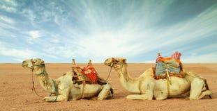 Kamelen in woestijn Royalty-vrije Stock Foto