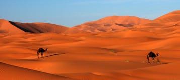 Kamelen in Woestijn Royalty-vrije Stock Foto's