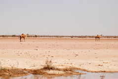 Kamelen in woestijn Cholistan Royalty-vrije Stock Foto's