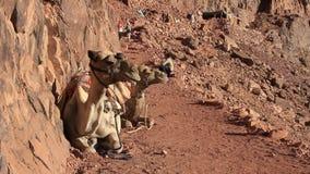 Kamelen. Zet Sinai op. Egypte stock videobeelden