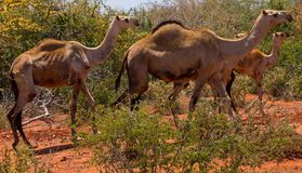 Kamelenkudde in de struiken royalty-vrije stock foto's