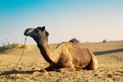 Kamelenrust na het bereiken van de oase stock foto's