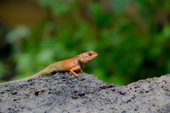Kameleonów gatunki w Tajlandia umieszczali na gałąź w naturze Zdjęcia Royalty Free