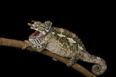kameleonów werners Fotografia Royalty Free