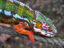 Kameleon 02 Royalty-vrije Stock Foto's