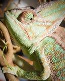 Kameleon Stock Afbeelding