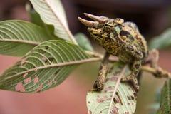 kameleon Zdjęcia Royalty Free