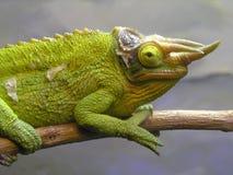 Kameleon Royalty-vrije Stock Afbeeldingen
