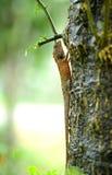 Kameleon Obrazy Stock