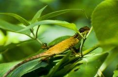 Kameleon Stock Foto's