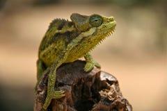 Kameleon Royalty-vrije Stock Fotografie