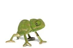 Kameleon Stock Afbeeldingen