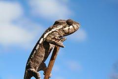 kameleon Fotografia Royalty Free